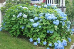 Hydrangeas in late summer...
